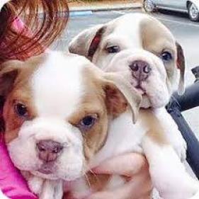 Regalo Magníficos Cachorros bulldog Ingles disponibles