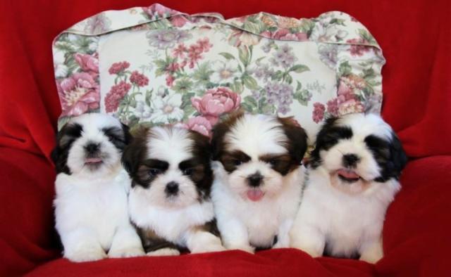REGALO cachorros macho y la hembra Shih tzu para la adopción