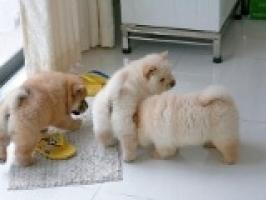 REGALO Navidad Chow Chow Cachorros Para Adopcion