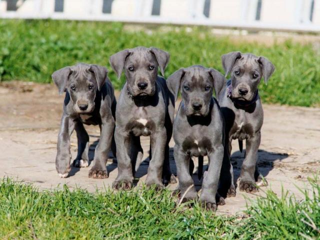 Regalo lindo Gran danes cachorros para adopcion()