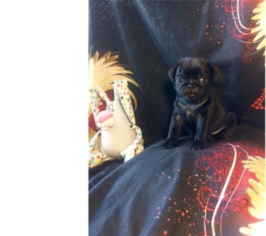 !!REGALO CACHORRO Pug para adop regala de navidad!!