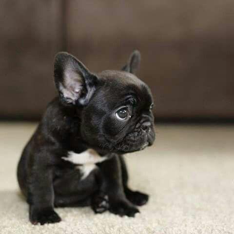 Regalo Hermosos cachorros de bulldog francés azul niño y niña