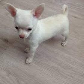 Regalo Cachorro chihuahua6