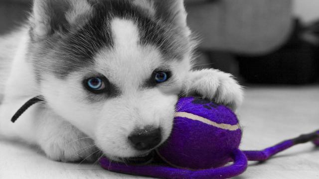 Cachorros Siberian Husky Masculino y Femenino y adorable para