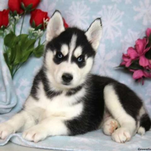 Siberiano Husky Masculino y Femenino y adorable para