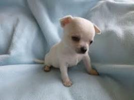 Regalo Chihuahua cachorros sanos para la adopciónd