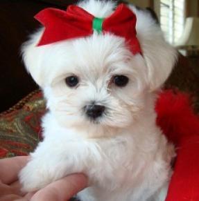 Regalo lindo bichon maltes toy cachorro