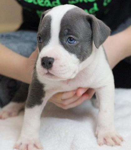 Regalo cachorros Pitbull Americano en adopcion