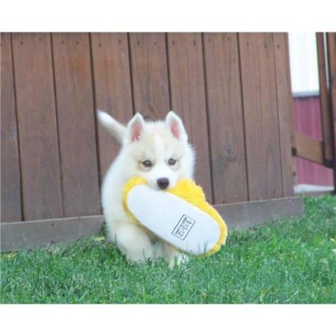 cachorro precioso HUSKY SIBERIANOS