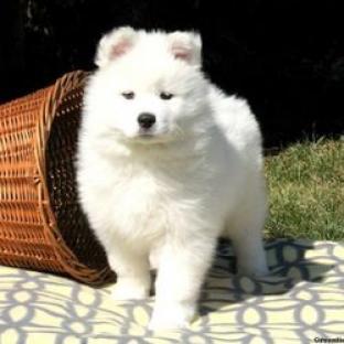 Cachorros magníficos de samoyedo para la adopcion