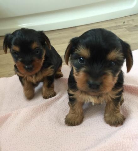 Regalo Yorkshire Terrier cachorros para navida..1