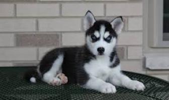 Cachorros de husky siberiano macho y hembra