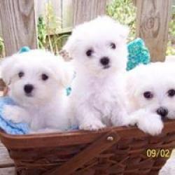 Regalo Cachorros Bichon maltes Miniaratura para su adopcion