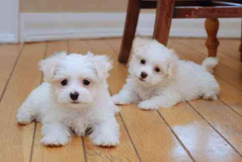 REGALO Bichón Maltés Cachorros Para Navidad