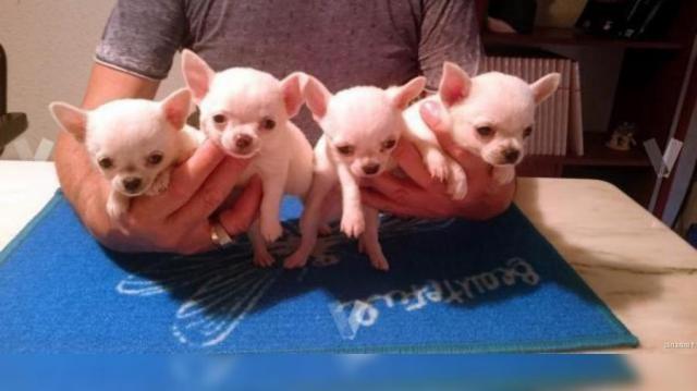 REGALO Chihuahua Cachorros Para Navidad