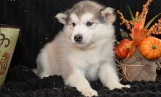 Regalo adorables siberian husky cachorros