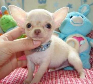 Regalo apuesto Chihuahua cachorros disponibles ahora