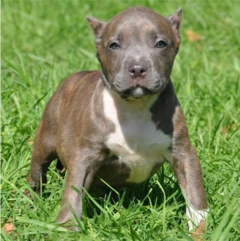 Preciosos cachorros Pitbull de pura raza talla grand