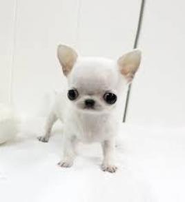 regalo cachoros chihuahua para adopcion