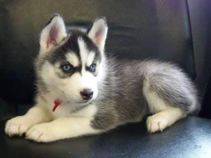 Regalo husky siberiano cachorros gratiis