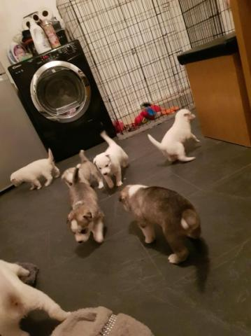Cachorros de pura raza de husky siberiano disponibles.