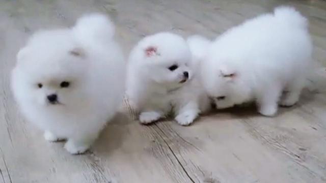 Regalo navidad maltes cachorros Para adoptcion