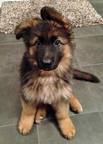 Cachorros pastor aleman pelo largo con pedigree y certificados de