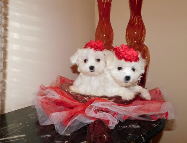 preciose cachorros Bichon maltes mini toy gratis de para navida