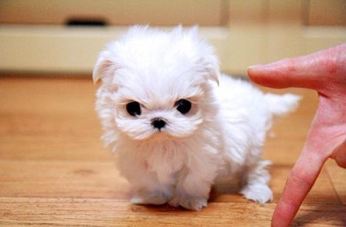 Regalo lindo bichon maltes cachorros mini