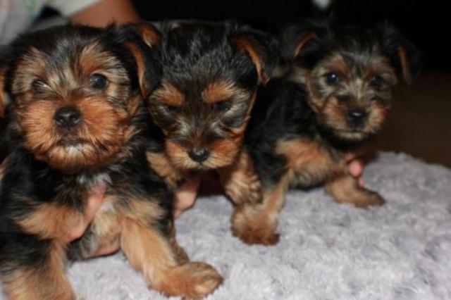 Regalo lindo yorkshire terrier cachorros mini nuevo