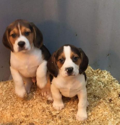 REGALO Magnífico Beagle Navidad para su Adopcion