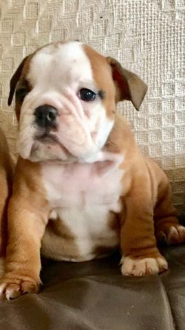 Regalo Cachorros de Bulldog Ingles Para Adopción1