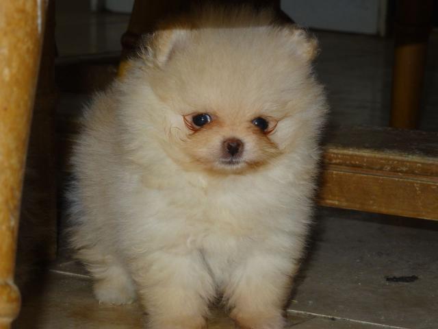 Cachorros inteligente lulu pomerania disponibles para la adopción