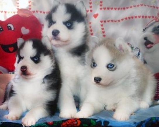 Regalo cachorros Husky siberiano en adopcion
