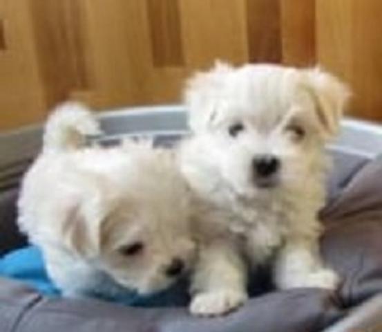 REGALO Navidad Bichón Maltés Cachorros Para Adopcion