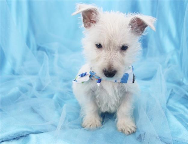 !!REGALO CACHORRO Westy terrier para adop regala de navidad!!