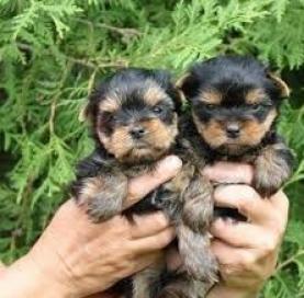 Lindo cachorros yorkshire terrier para su aprobaci