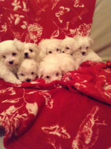 REGALO Navidad Hermosa Bichon Maltes para su Adopción
