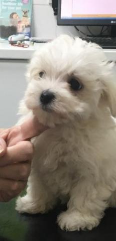 REGALO dulceDulce preciosos navidad adopción cachorritos bichon m