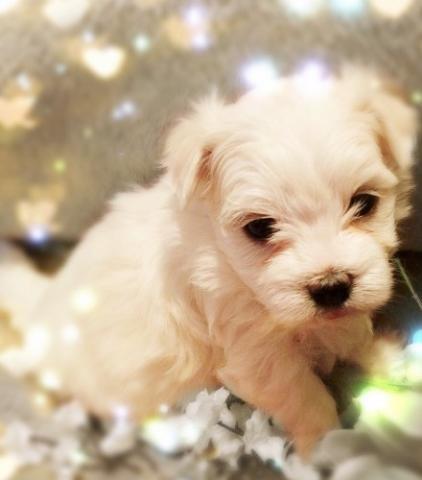 REGALO cachorro Bichon maltes de navidad
