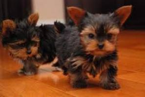 Regalo super toy yorkshire terrier cachorros gratis