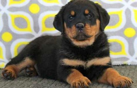 regalo maravilloso cachorros rottweiler muy lindo