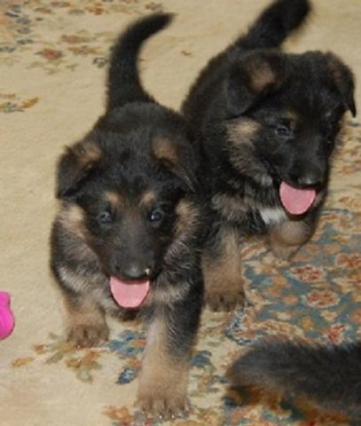 Cachorros Pastor Aleman Para Adopción