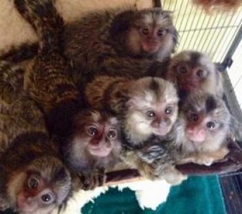 Monos capuchinos lindos del bebé para la adopción