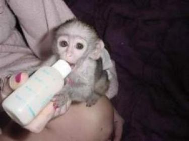 Lindo bebé mono capuchino