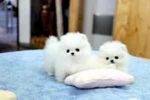 Adorable pedigrí Pomeranian cachorros listo para regalo