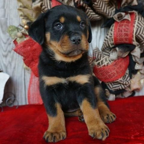 cachorros de Rottweiler para la adopción