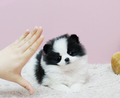 Regalo cachorros Pomeranian muy Lindos