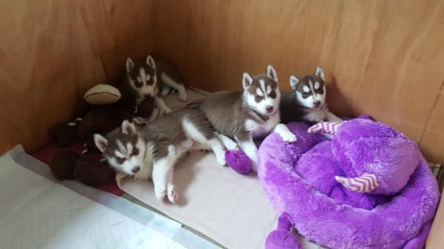 2 cachorros de Siberian Husky hembra y 2 machos en venta