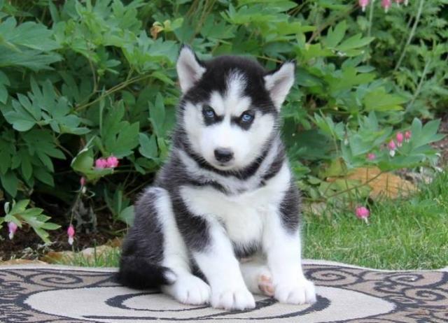 REGALO Navidad Husky Siberiano Para Adopcion